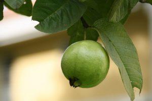 guava-188440_1280