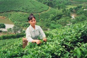 Tan Cuong Tea Field