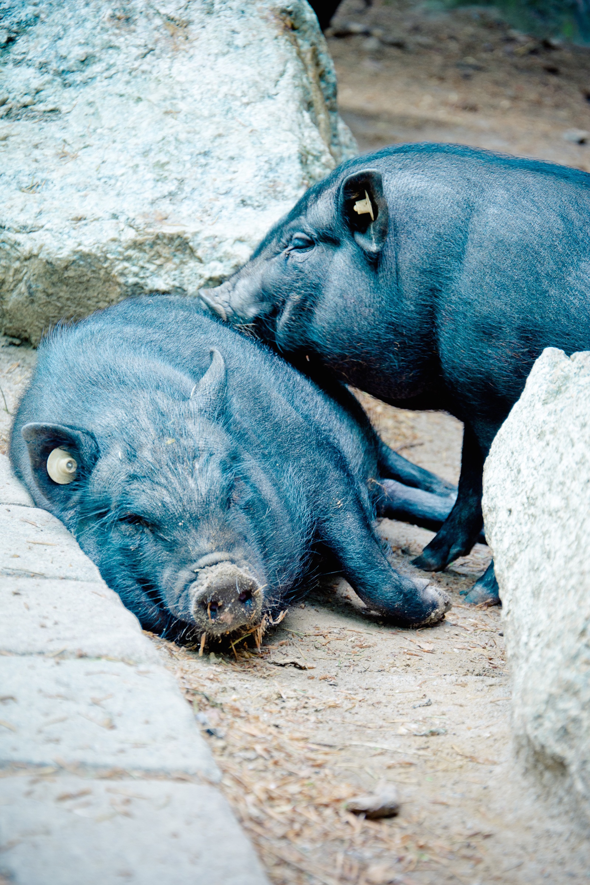 pot-bellied-pig-1405169