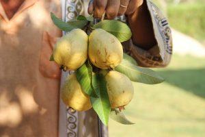 guava-588943_1280